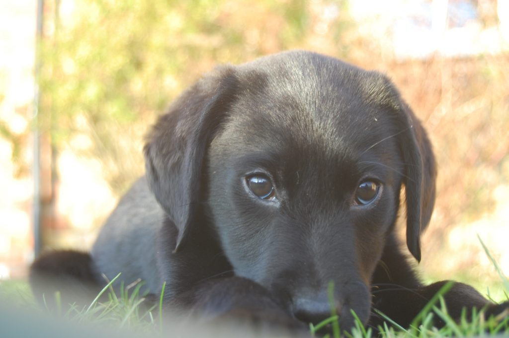 Oscar the labrador. He is now 2yrs old and extremely mischievous.